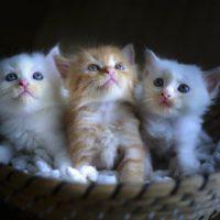 Kittens Alexis